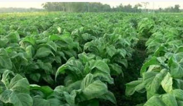 Industri Tembakau Minta Cukai Tak Naik