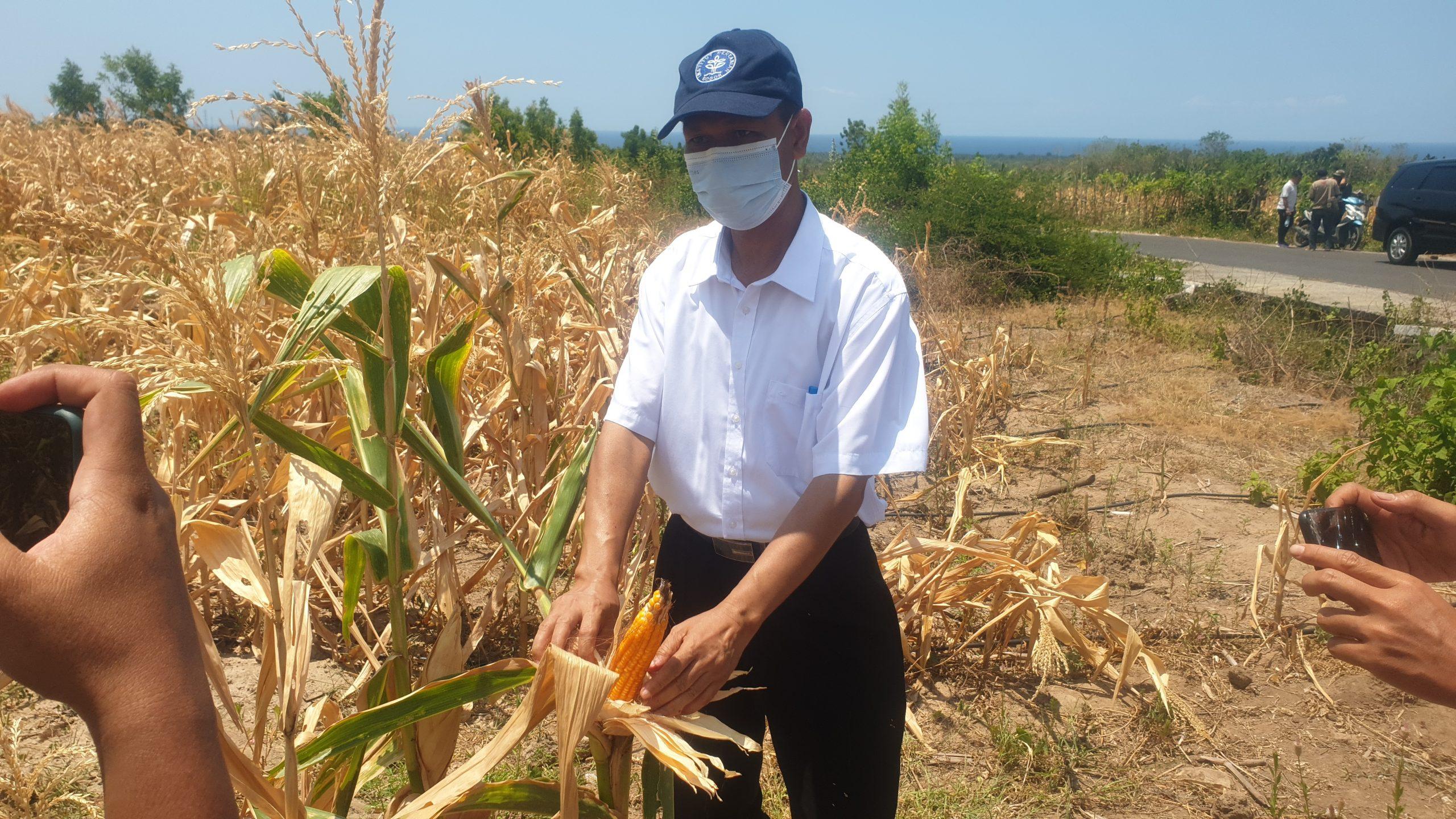 Manfaat Irigasi Tetes, Lahan Non Produktif Berhasil Produksi Jagung